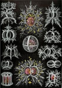Ernst Heinrich Haeckel  1